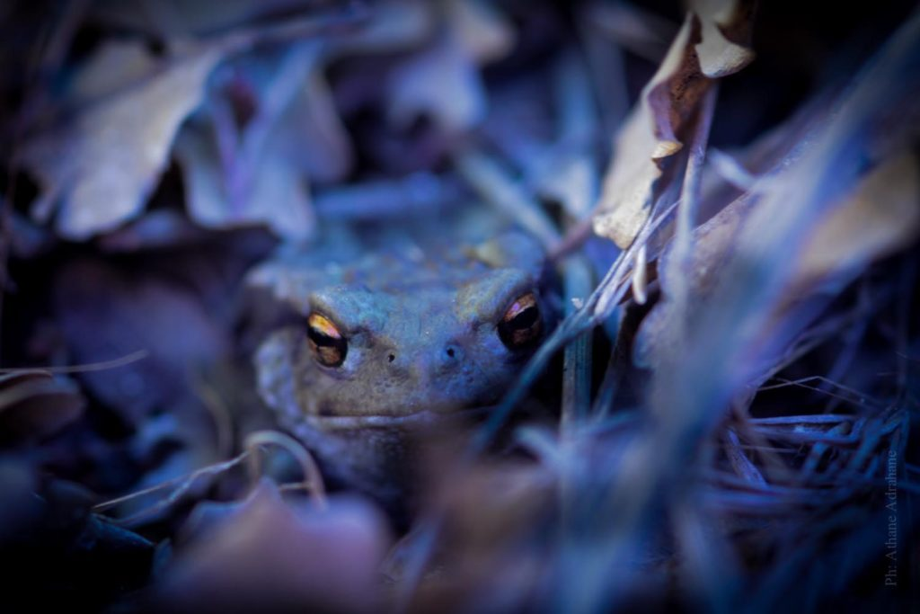 athane_frog