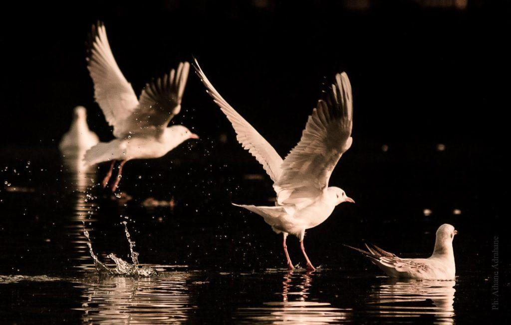 athane_seagulls